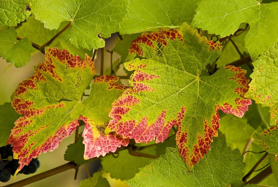Vineyard Photograph - Leaf Design by Jean Noren