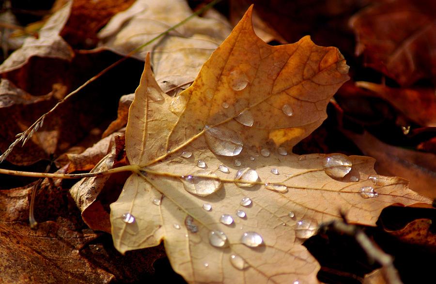 Usa Photograph - Leaf Doplets by LeeAnn McLaneGoetz McLaneGoetzStudioLLCcom