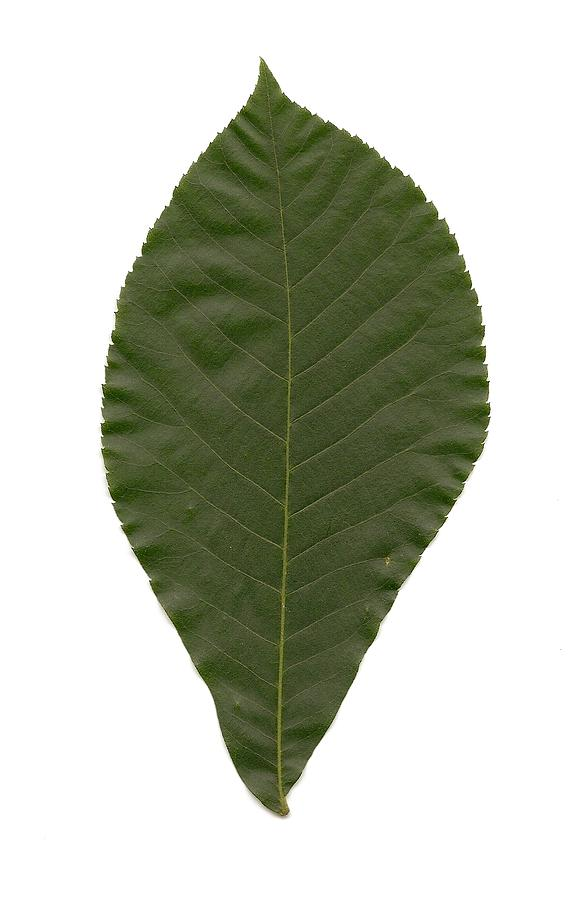 Hickory Photograph - Leaf Of Mockernut Hickory by Mary Ann Southern