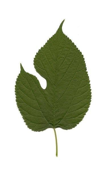 Leaf Photograph - Leaf Of Red Mulberry by Mary Ann Southern