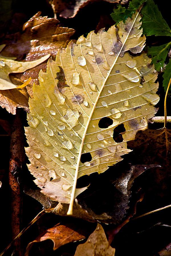 Water Droplets Photograph - Leafy Tears by Burney Lieberman