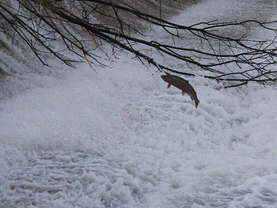 Fish Photograph - Leap Of Faith by Paul Hurtubise