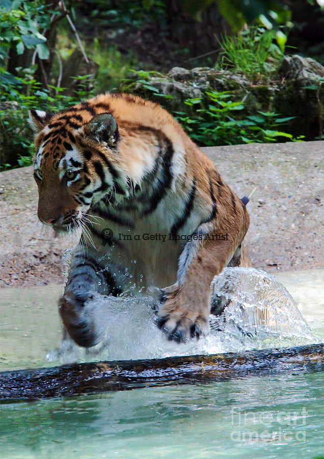 Siberian Tiger Photograph - Leap Of Faith by Pete Reynolds