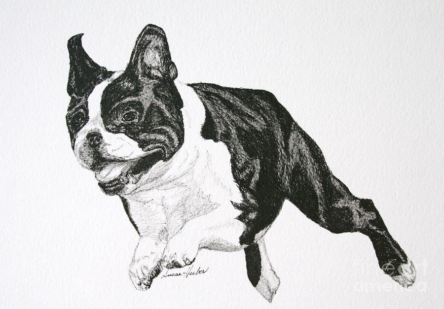 Boston Terrier Drawing - Leap by Susan Herber