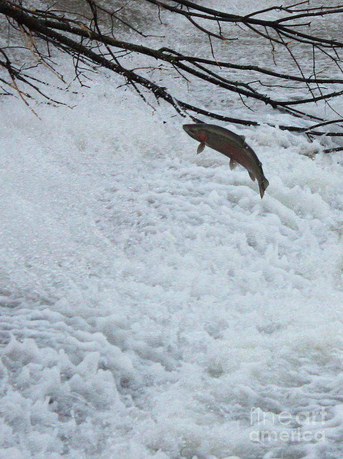 Nature Photograph - Leaping Steelhead by Paul Hurtubise