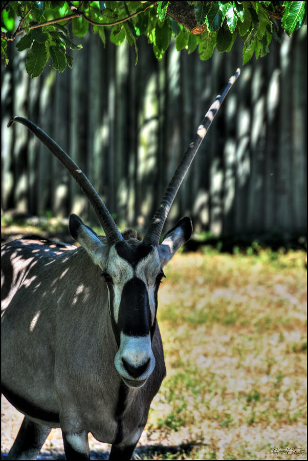 Leave Me A Roan Antelope Photograph