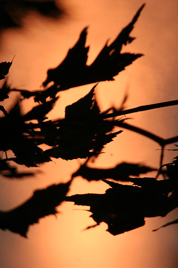 Sunset Photograph - Leaves in Sunset by Dr Carolyn Reinhart