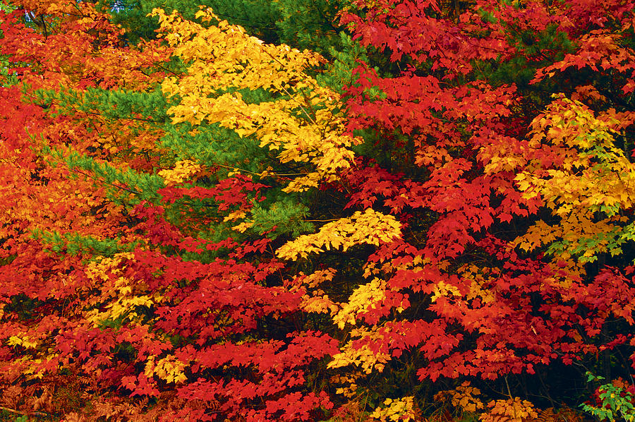 Autumn Colors Photograph - Leaves On Trees Changing Colour by Mike Grandmailson