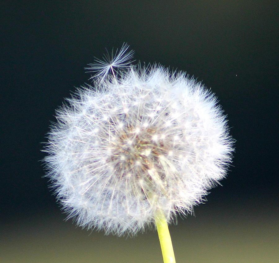 Dandelion Seeds Photograph - Leaving Home by Karen Grist