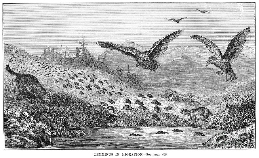 19th Century Photograph - Lemming Migration by Granger