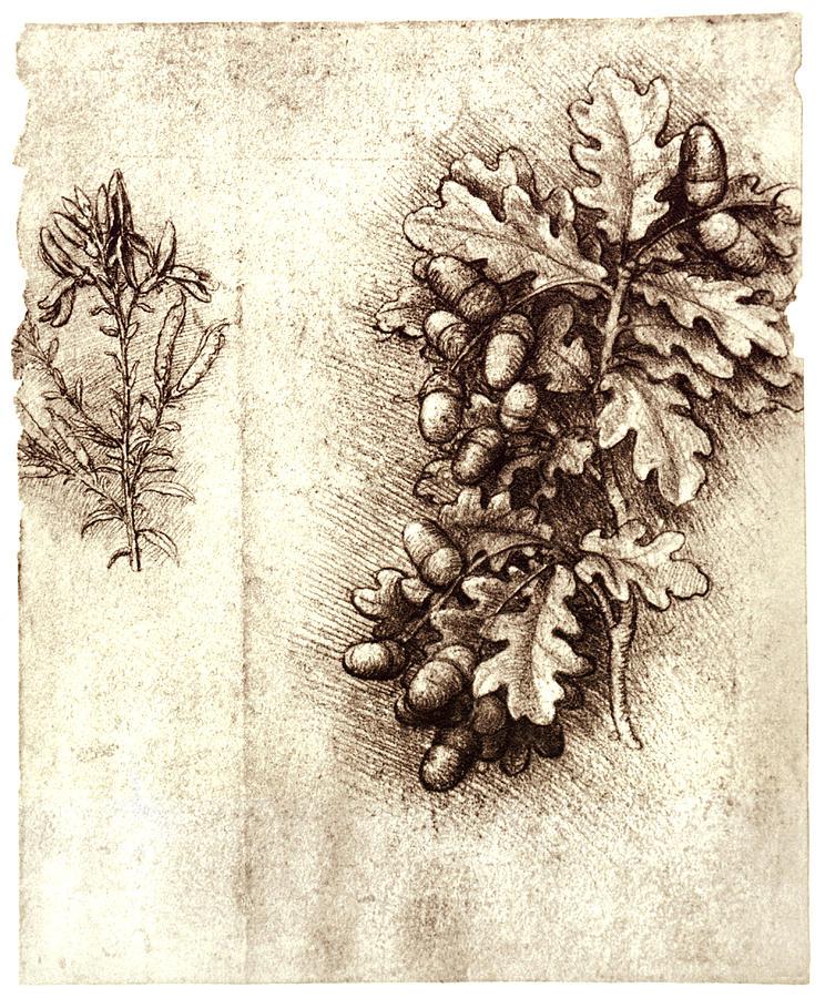Oak Leaf And Acorn Drawing Leonardo Da Vinci's Oa...