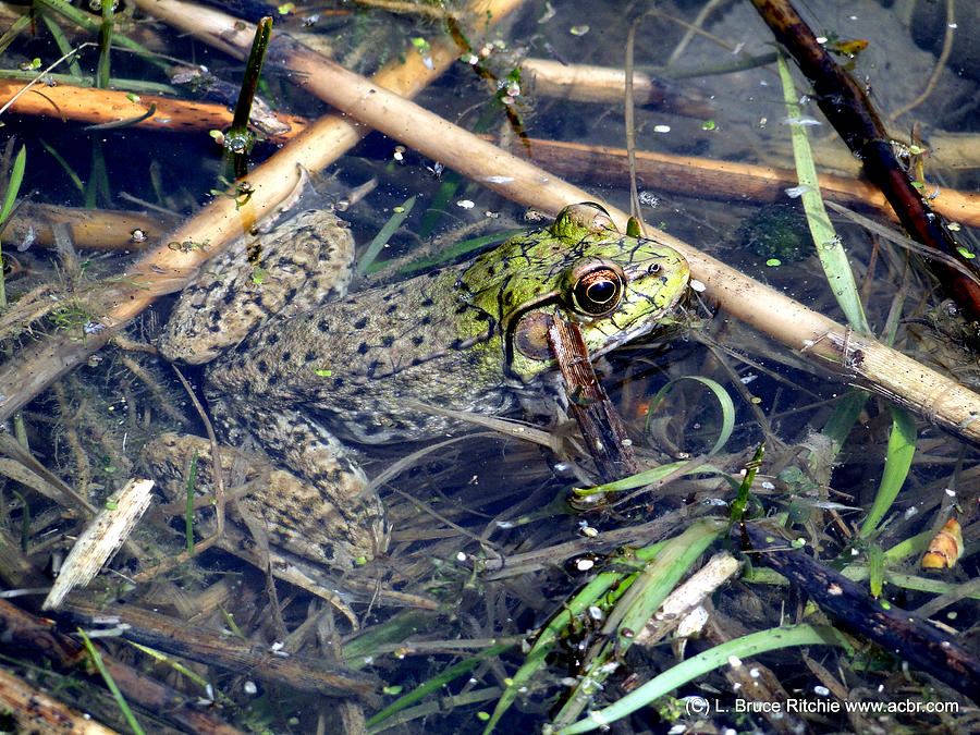 Leopard Frog by Bruce Ritchie