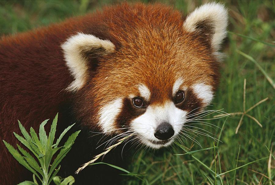 Lesser Panda Portrait China Photograph by Mark Moffett