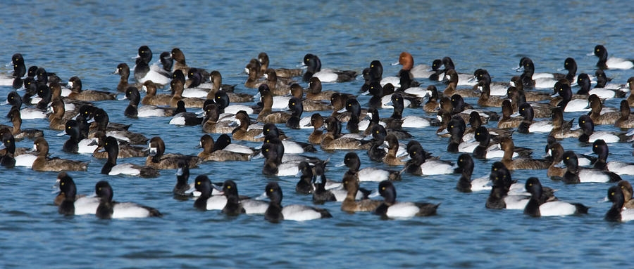 Lesser Scaup Aythya Affinis Flock Photograph by Tom Vezo