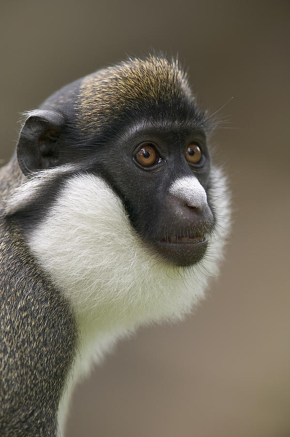 Lesser White-nosed Monkey  Photograph by Cyril Ruoso