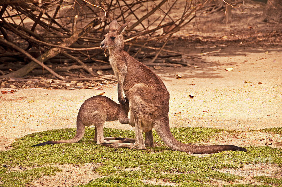 Kangaroo Photograph - Let Me Back In by Bob and Nancy Kendrick