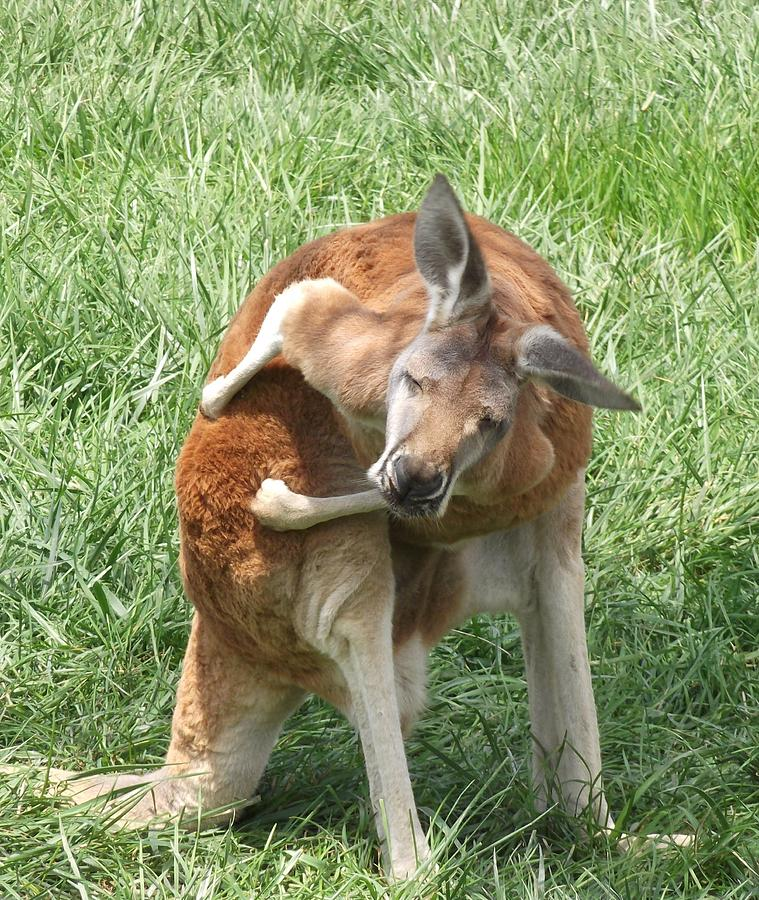 Kangaroo Photograph - Let Me Grab My Wallet by Heather Jett