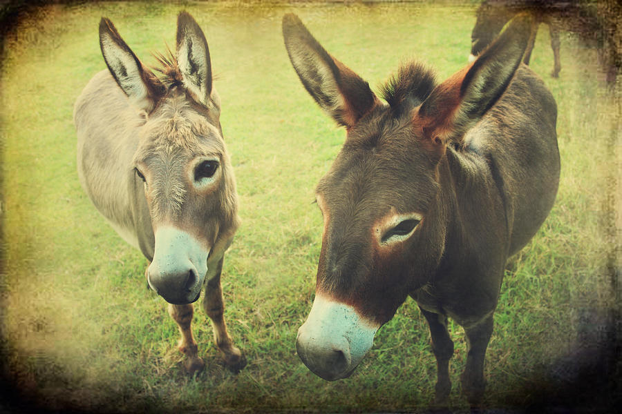 Donkeys Photograph - Lets Chat by Laurie Search