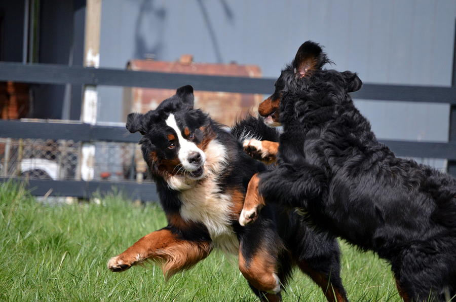 Dogs Photograph - Lets Play by Paulette Hawkins