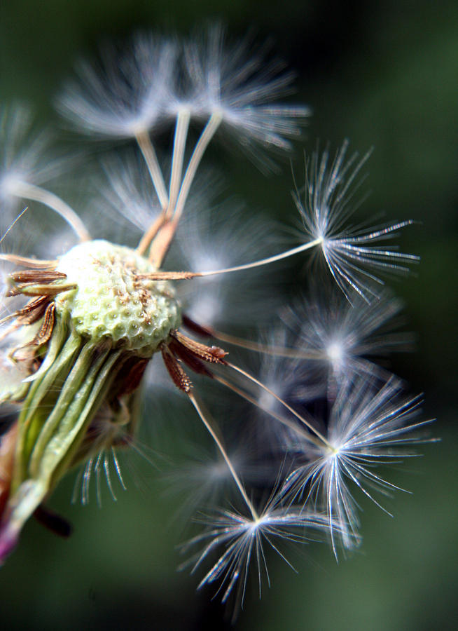 Dandelion Photograph - Letting Go  by Heather Applegate