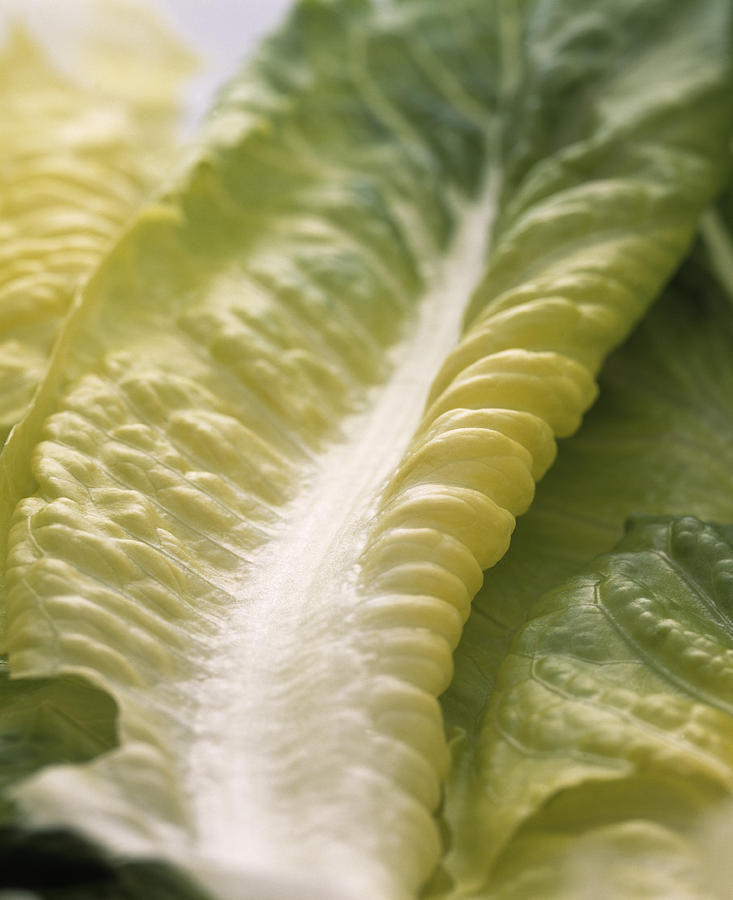 Lettuce Photograph - Lettuce Leaf by Sheila Terry