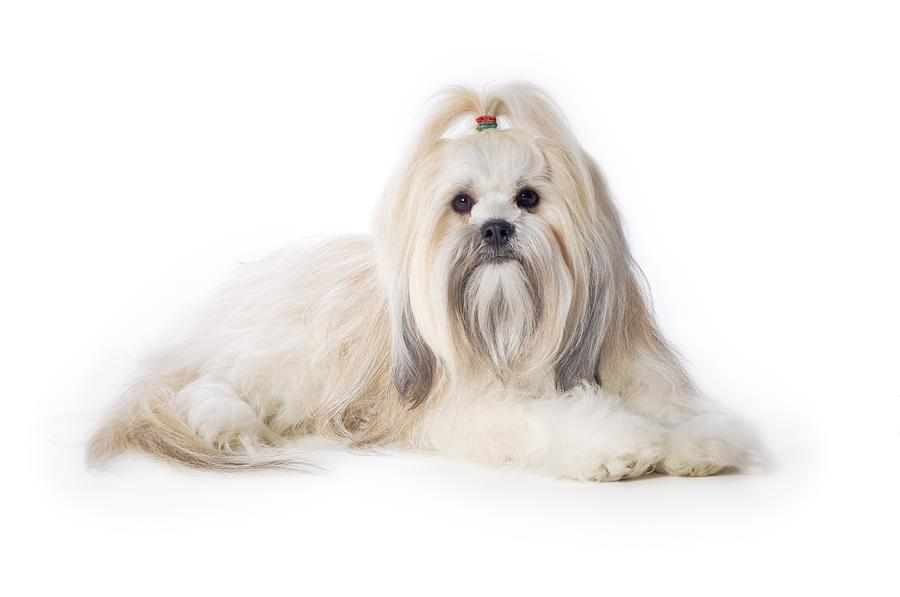 Are Lhasa Apso Good Dogs