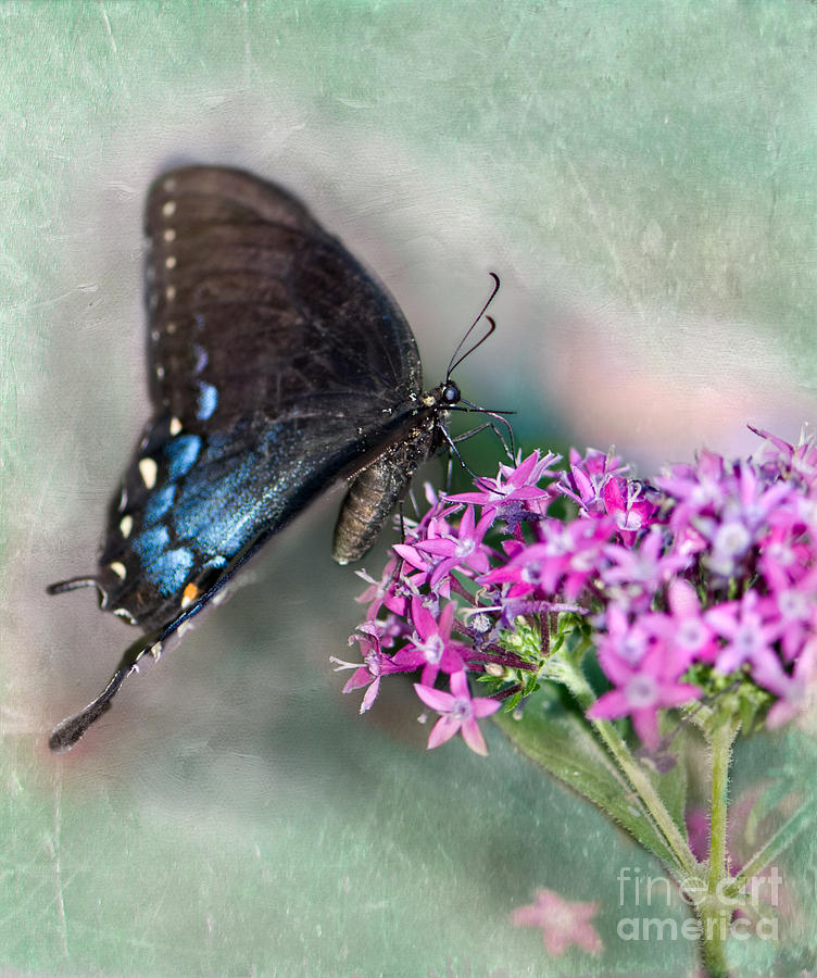 Pipevine Swallowtail Photograph - Life Is Sweet by Betty LaRue