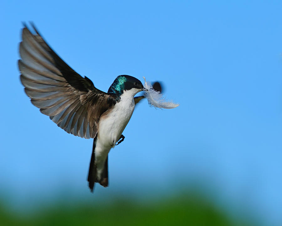 Tree Swallow Photograph - Light As A Feather by Tony Beck