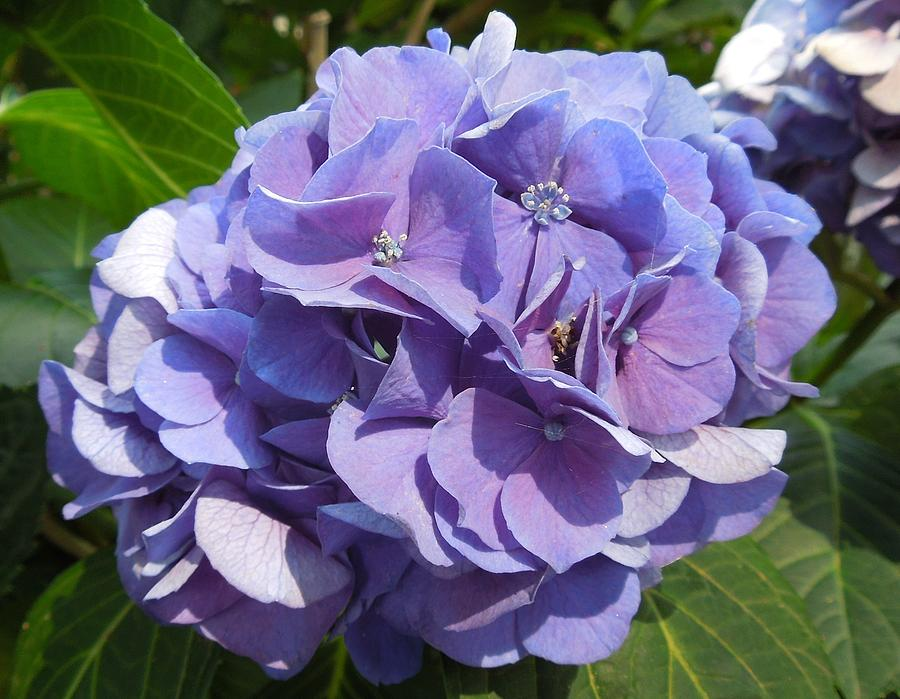 Light Blue Hydrangea Flower Photograph By Chad And Stacey Hall