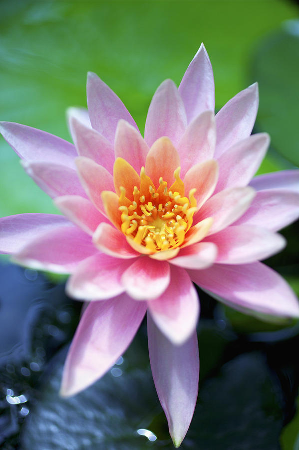 Beautiful Photograph - Light Pink Water Lily by Kicka Witte
