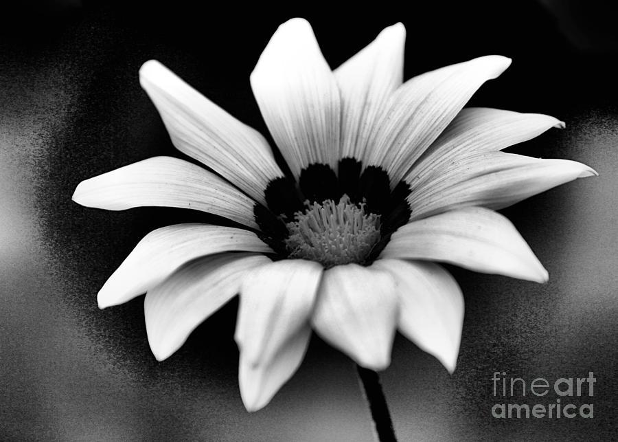 Daisy Photograph - Lil Daisy Bw by Cheryl Frischkorn