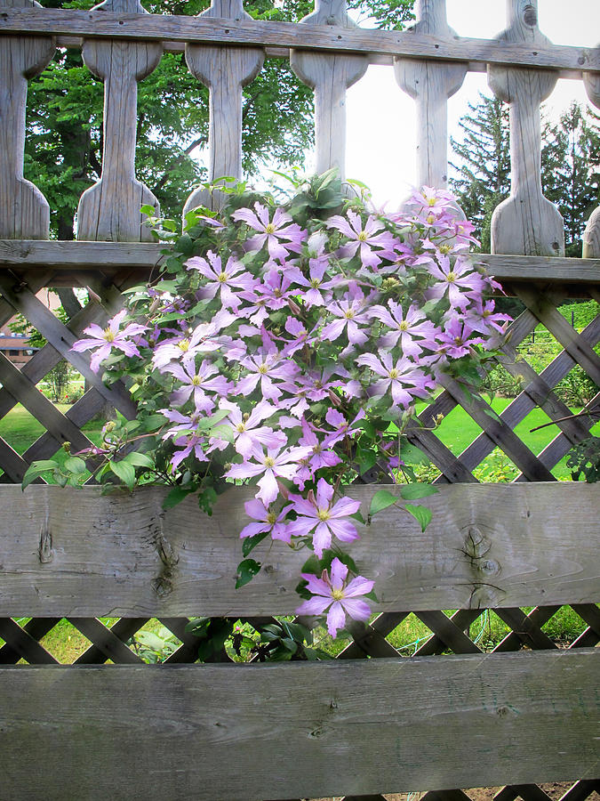 Lilac clematis flower vine basking in sun rays on a wood garden lilac photograph lilac clematis flower vine basking in sun rays on a wood garden arbour mightylinksfo Gallery