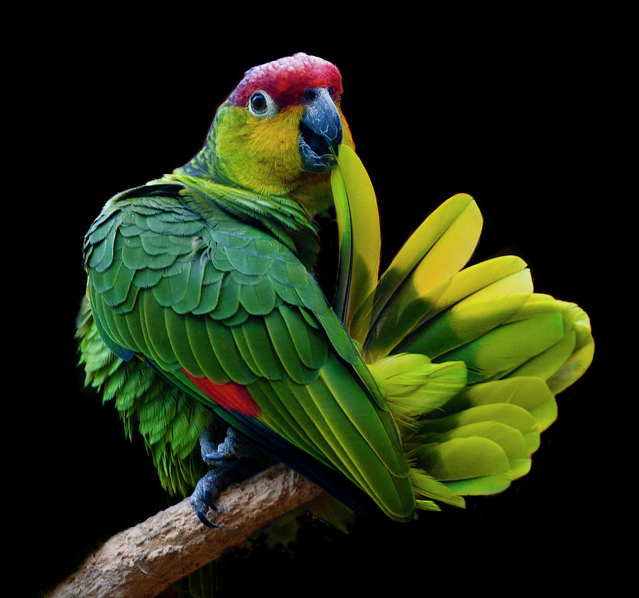 Horizontal Photograph - Lilacine Amazon Parrot Isolated On Black Backgro by Photo by Steve Wilson