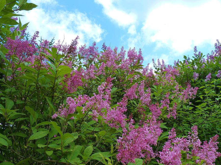 Flowers Photograph - Lilacs In Rochester Ny by Jeanette Oberholtzer