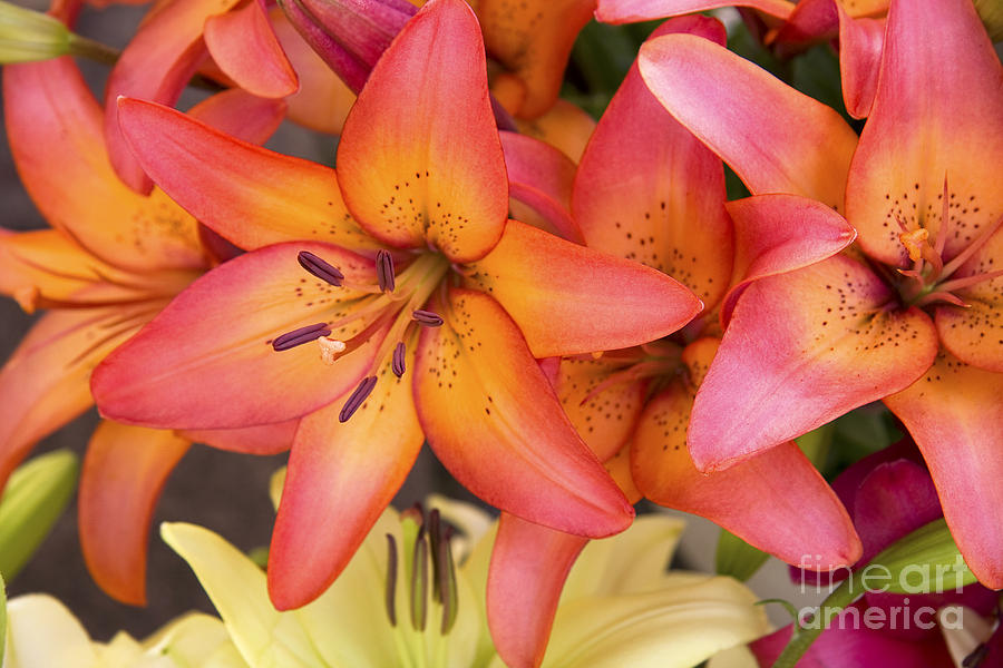 Aroma Photograph - Lilies Background by Jane Rix