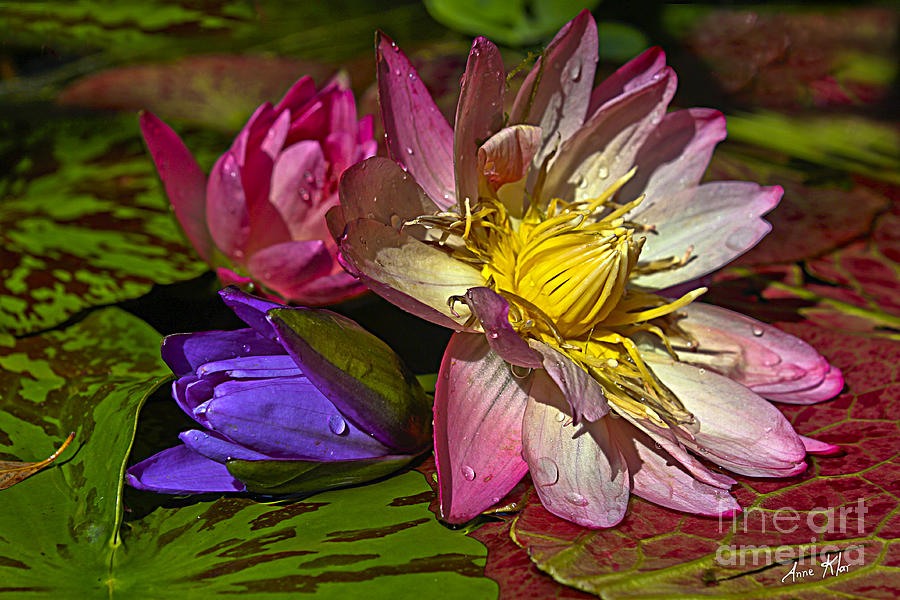 Waterlily Photograph - Lilies No. 20 by Anne Klar