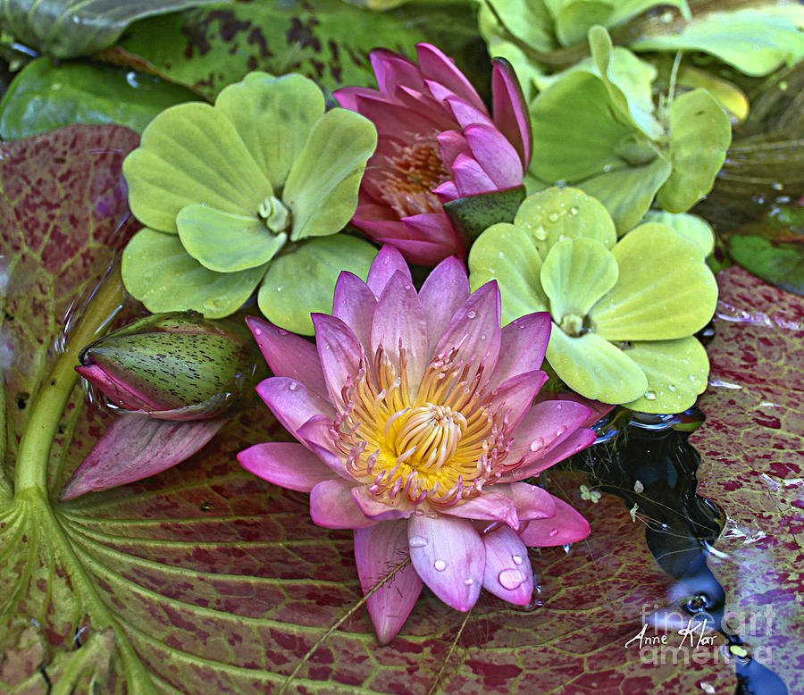 Pink Water Lily Photograph - Lilies No. 21 by Anne Klar