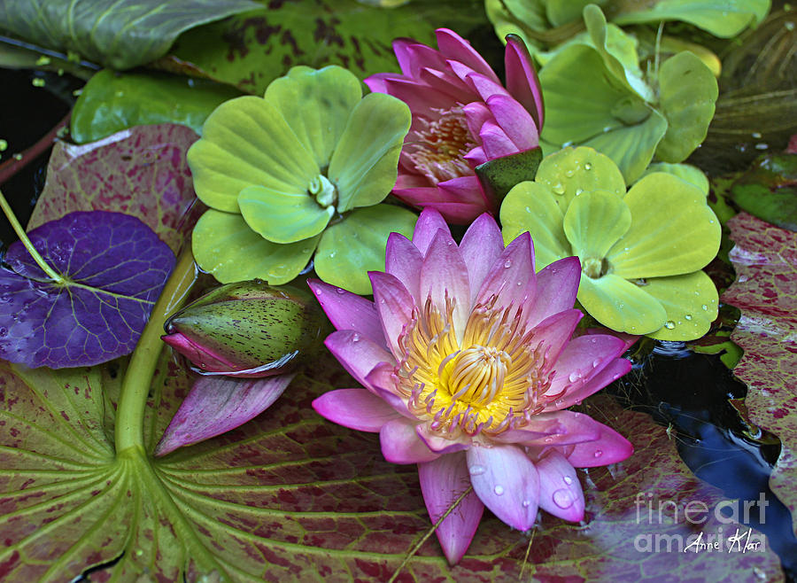 Pink Magenta Rose Waterlily Photograph - Lilies No. 28 by Anne Klar
