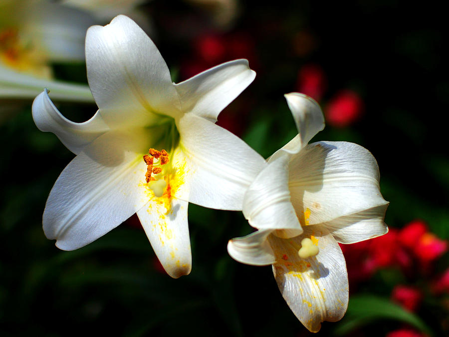 Lilium Photograph - Lilium Longiflorum Flower by Paul Ge