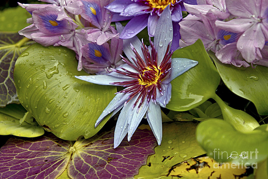 Waterlily Photograph - Lillies No. 9 by Anne Klar