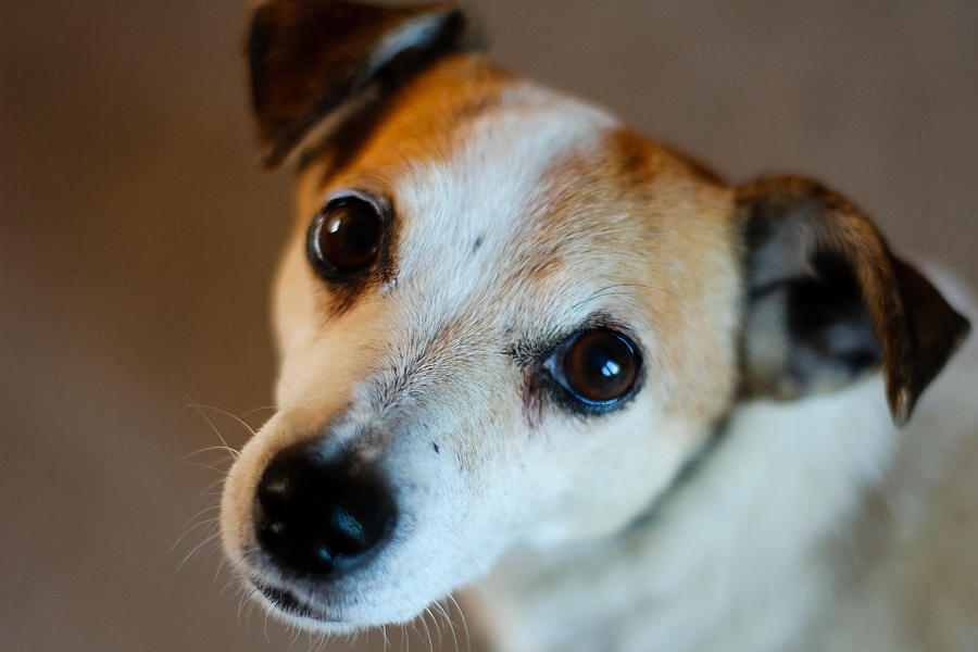 Dog Photograph - Lilly - The Jack Russell by Callum Mcleod