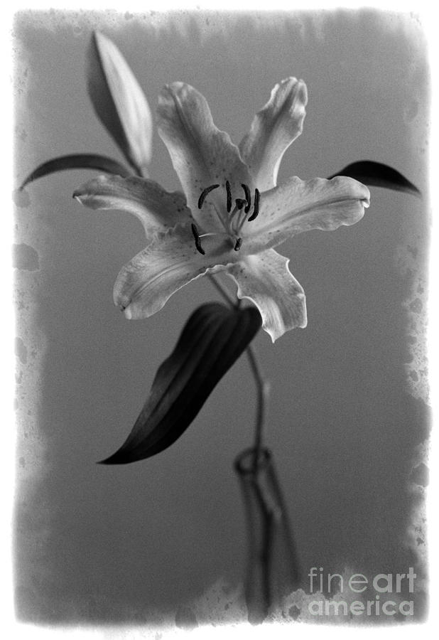 Flowers Photograph - Lily DR2 by Aldo Cervato