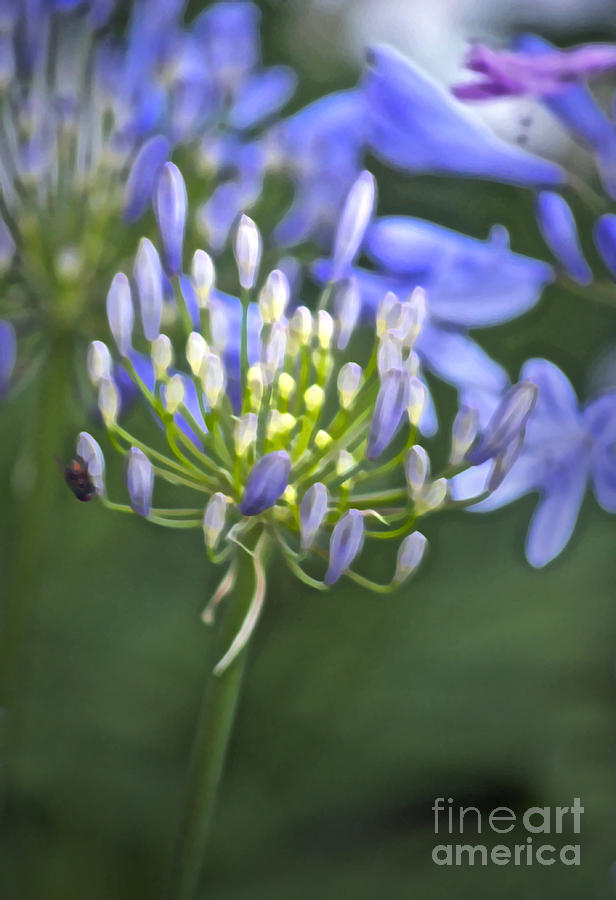 Agapanthus Photograph - Lily Of The Nile by Gwyn Newcombe