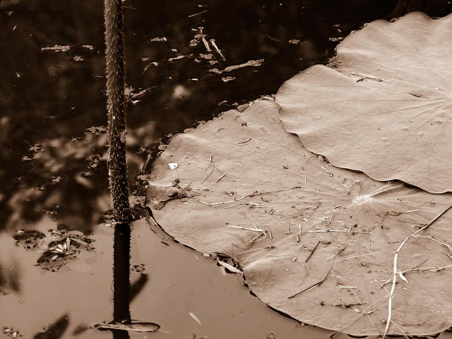 Aquatic Photograph - Lily Pad by Nawarat Namphon