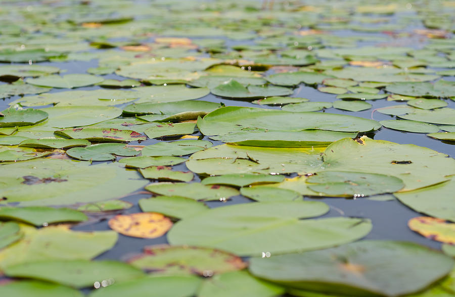 Lily Pads Photograph - Lily Pads On The Water by Margaret Pitcher