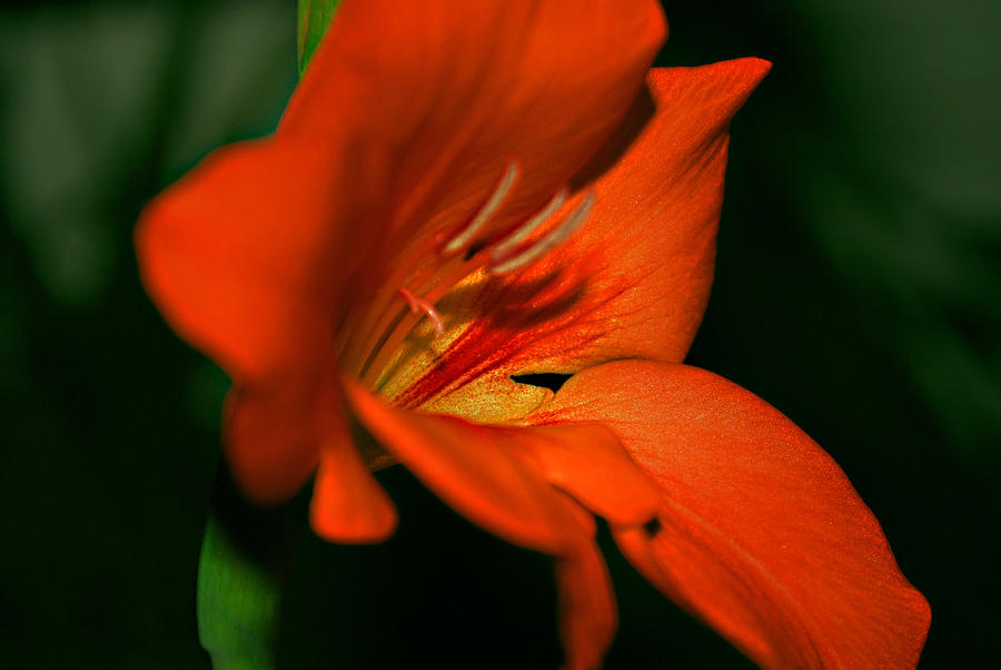 Lily Photograph - Lily Petals by Michelle Cruz
