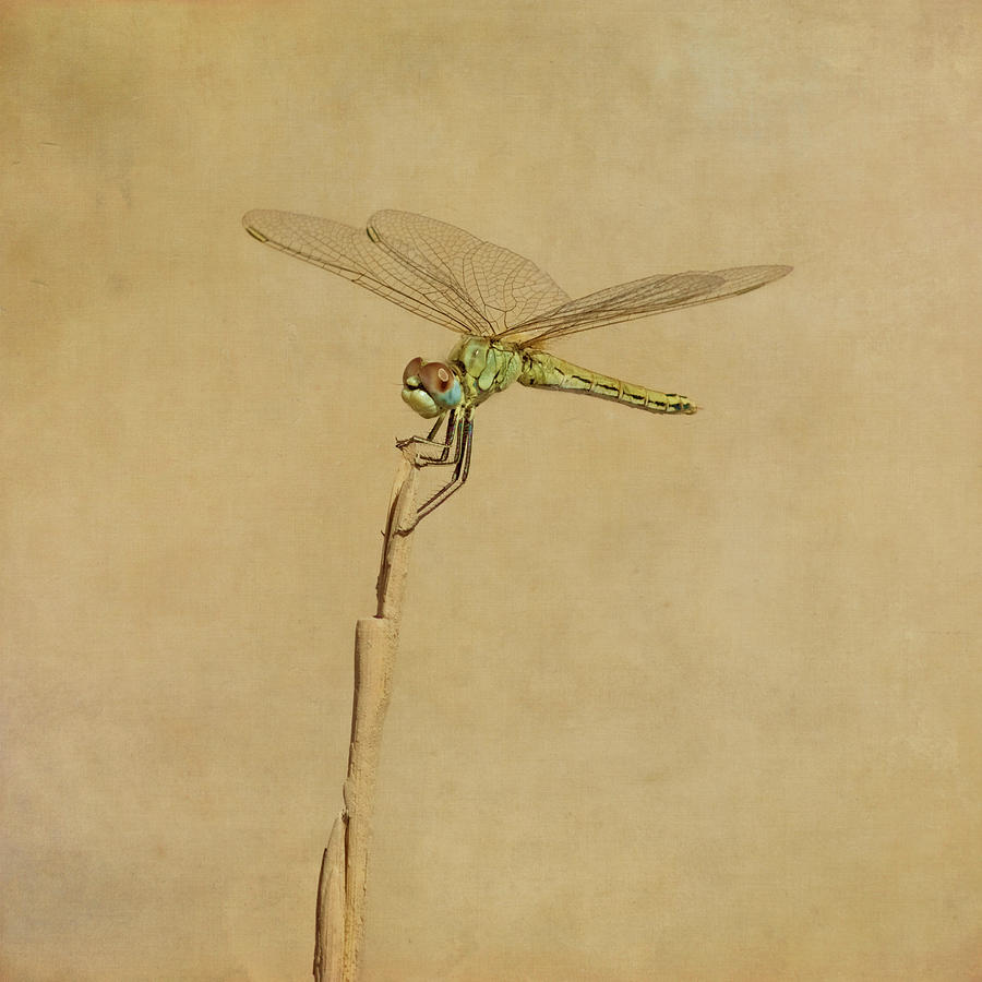 Square Photograph - Lime Green Dragonfly by Paul Grand Image
