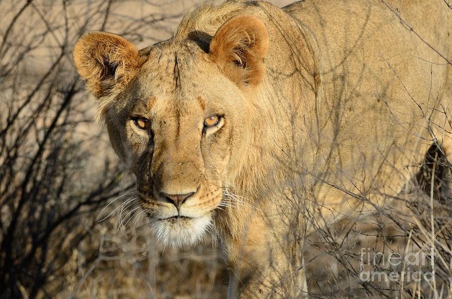 Lion Photograph - Lion by Alan Clifford
