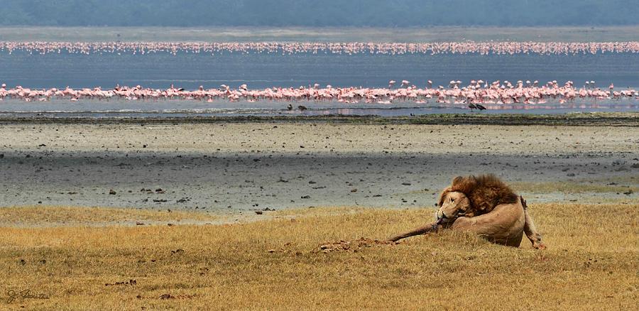 Africa Photograph - Lion And Flamingos by Joe Bonita