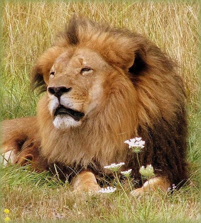 Wild Animals Photograph - Lion Bouquet by Judy Garrett